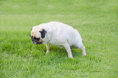 Cute puppy female Pug dog pee on green grass