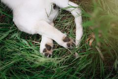 Cute puppy foot Royalty Free Stock Image