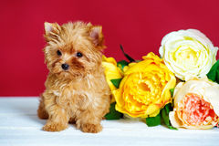 Cute puppy Royalty Free Stock Photo