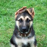 Cute puppy, German shepherd dog. Cute puppy looking directly in objective, German shepherd dog Stock Photography