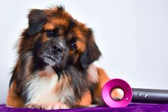 Cute puppy getting groomed royalty free stock photography
