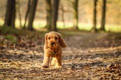 Cute puppy of golden cocker spaniel is walking royalty free stock image