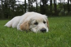 Cute Puppy Golden Retriever. Cute Golden Retriever Puppy is waiting. Please comment after download Stock Photo