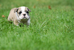 Cute puppy in the grass. English bulldog puppy 5 weeks old Stock Photo