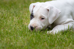 Cute puppy in the grass. Cute puppy lying on the grass. Small dogo argentino Stock Images