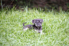 Cute Puppy in the Grass. Cute stray puppy plays in the green grass Royalty Free Stock Images