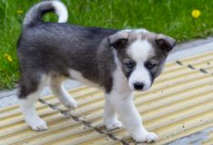 A cute puppy of a gray dog with blue eyes is walking along the pavement in the city. Front view from above royalty free stock image