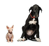 Cute puppy greyhound and kitten don sphynx on a white Royalty Free Stock Images