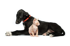 Cute puppy greyhound and kitten don sphynx on a white Royalty Free Stock Photography