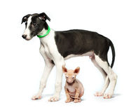 Cute puppy greyhound and kitten don sphynx on a white Royalty Free Stock Photo