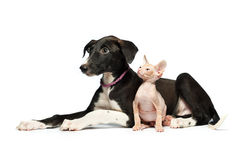 Cute puppy greyhound and kitten don sphynx on a white Royalty Free Stock Image