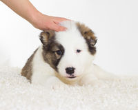 Cute puppy and  hand Royalty Free Stock Image
