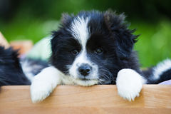 Cute puppy hangs out of a bed Stock Images