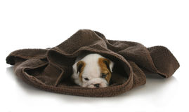 Cute puppy hiding Royalty Free Stock Photography