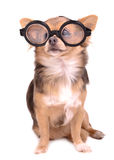 Cute puppy with high diopter thick glasses. Cute chihuahua puppy with high diopter thick glasses, on white background Stock Photo