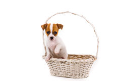 Cute puppy holding up his paw standing in a basket Royalty Free Stock Images