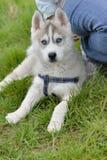 Cute puppy husky Stock Photo