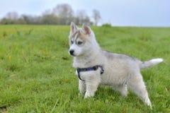 Cute puppy husky Royalty Free Stock Photos