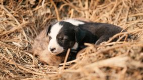 Puppy of indian domestic dogIndian pariah dog. Cute puppy of indian domestic dog Indian pariah dog resting in sunlight over soil Stock Images