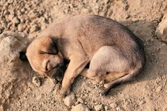 Puppy of indian domestic dogIndian pariah dog. Cute puppy of indian domestic dog Indian pariah dog resting in sunlight over soil Stock Photo