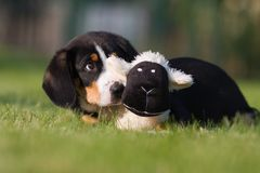 Cute puppy with its toy Stock Photos