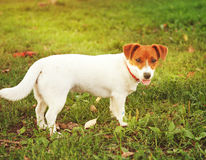 Cute puppy Jack Russell on the green grass Stock Image