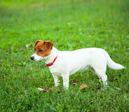 Cute puppy Jack Russell on the green grass Royalty Free Stock Photography