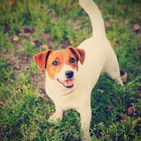 Cute puppy Jack Russell on the green grass Stock Images