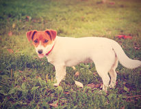 Cute puppy Jack Russell on the green grass Royalty Free Stock Image