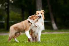 Cute puppy kisses red dog Stock Photo