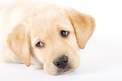 Cute puppy Labrador retriever stock photos