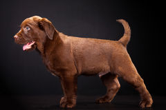 Cute puppy of Labrador retriever on black Stock Photography