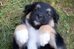 A cute puppy laying on his back Royalty Free Stock Photo