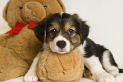 Cute puppy laying on teddy bear Stock Photo