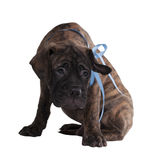 Cute puppy looking at camera Royalty Free Stock Image
