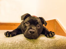 Cute puppy looking at camera lying down Royalty Free Stock Photos