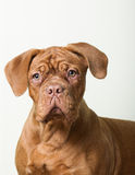 Cute puppy looking at the camera. Redhead purebred dog questioning look on a light background royalty free stock photos