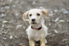 Cute Puppy Looking UP Sad and Curious Royalty Free Stock Image
