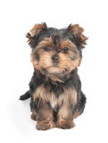 Cute puppy looks into the camera Stock Image