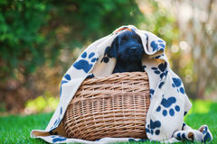 Cute puppy looks out of a basket Royalty Free Stock Images