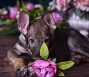 Cute puppy  lying on the floor with flowers Royalty Free Stock Images