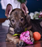 Cute puppy  lying on the floor with flowers Royalty Free Stock Image