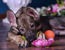 Cute puppy  lying on the floor with flowers Stock Image