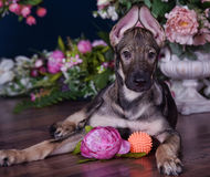 Cute puppy  lying on the floor with flowers Royalty Free Stock Photography