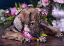 Cute puppy  lying on the floor with flowers Stock Images