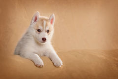Cute puppy lying on its side Royalty Free Stock Image