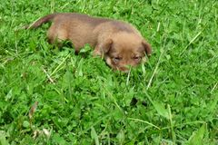 Cute puppy lying on lawn Royalty Free Stock Images