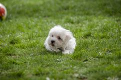 Cute puppy - Maltese dog breed. Cute White Maltese puppy on green grass Royalty Free Stock Photos