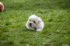 Cute puppy - Maltese dog breed Royalty Free Stock Photos