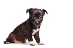 Cute puppy melancholy Stock Image